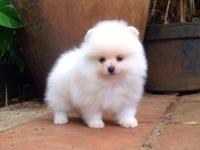 Male & female Pomeranians available w/ shots ..Price is