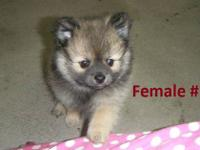 I have 5 adorable Pomeranian puppies for sale. There