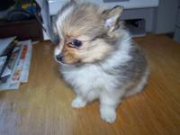 CUTEST EXTREMELY TINY TRI-COLORED POM PUPPY.IM ASKING