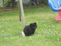 sweet & friendly 6 mo. old female pom she is black w/ a