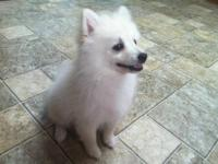 We have One Beautiful Cream Male Pomeranian puppy with