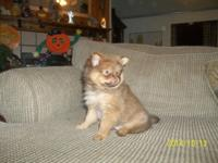 We have 1 male AKC Pomeranian Puppy for sale He is 8