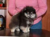 Akc registered Nitro. Purebred Pomeranian puppy. We're