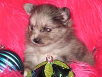 I have a gorgeous AKC signed up, female blue merle