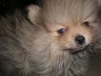Purebreed AKC female puppy with cream and tan coat,
