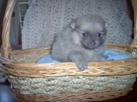 Beautiful AKC signed up pomeranian puppy. 4 weeks old