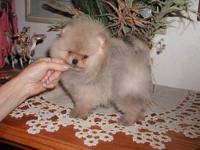 GORGEOUS FLUFFY POMERANIAN PUPPY IS READY TO GO HOME TO
