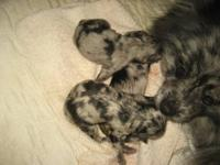 Blue merle puppies, brother & sister born on Mothers