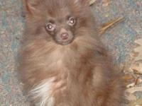 AKC Pomeranians. Outstanding Families birthed & &