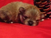 AKC Pomeranians! 1 males sable and 1 lady -black/tan
