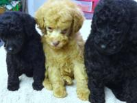 Three toy poodle puppies. One female and two males. The