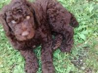 We have one male and one female 2 male standard poodle