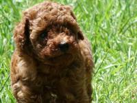AKC tiny red poodle puppies, deworm and vaccinations up