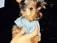 AKC Potty Trained Yorkie Puppies 11 weeks Male and