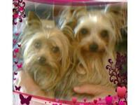 I have a proven AKC yorkshire terrier stud. Champion