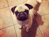 We have an adorable fawn pug, she is AKC registered