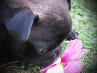 Gorgeous Chocolate Silver female pug. She was born on