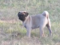 Mo Jo is the sweetest fawn male pug puppy ever. He was