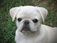 Rare white Pug. Kaper is a friendly outgoing female