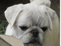 Rare white Pug. Kasper is a friendly outgoing male pug,