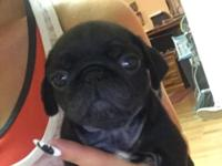 AKC ADORABLE PUG PUPPIE!!!! ONLY 1 more remaining.