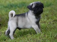 AKC PUG PUPPIES !!!! They are 10 weeks old Born April