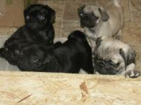 Dessert and wise pug young puppies for sale to a loving