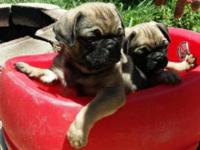 These little dogs are purebreed pugs and ready for