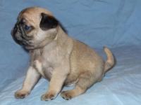 AKC PUG PUPPIES ... Born 11/3/14 ... will be 8 weeks