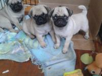 AKC Pug Puppies These puppies were raised in our home
