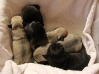 AKC Registered, Show Quality.. Black Pug Puppies. Ready