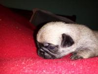 AKC Pug puppies - 2 males, 5 females. All fawn. Pics