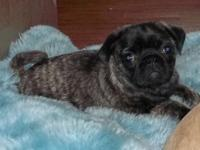 Gorgeous little 12 week old Brindle Pug boy awaits his