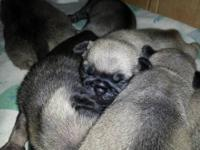 AKC registered female pug puppy. Absolutely beautiful.