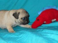 "PUG PUPPY....MALE, FAWN COLORED ""SAM"" (last pup"