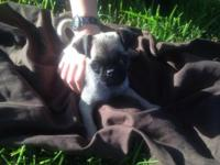 I have a AKC registered fawn male pug puppy looking for