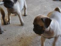 Stunning AKC pug pups, born July 1st. ready to go now,
