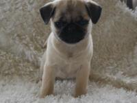 Beautiful AKC Champion line pug pups, Several males to