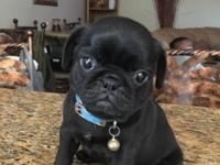 Beautiful AKC I have 2-black males pugs AKC full
