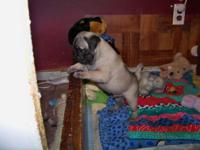 AKC registerd pugs small in size.Champion bloodline