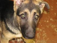 AKC German Shepherd Puppies: Great Christmas