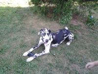 We are expecting a litter of AKC Great Dane puppies at