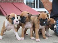 We presently have a trash of 8 purebred Boxer young