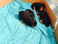 I have 4 females Rottweiler pups left. Puppies were