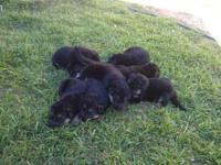 AKC Pure Breed German Shepherds Puppies were born on