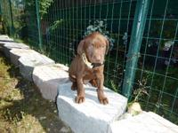AKC PURE CHOCOLATE LABRADOR RETRIEVER Puppies born