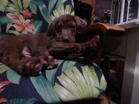 AKC PURE CHOCOLATE LABRADOR RETRIEVER Puppies. both