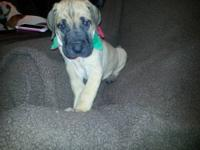 AKC pure fawn Great Dane puppies. Litter of 7 from our