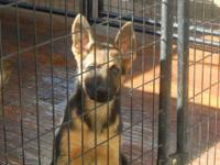 AKC Papered Purebred German Shepherd Male Puppy 4