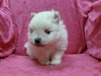 We have a little white Pomeranian puppy girl for you